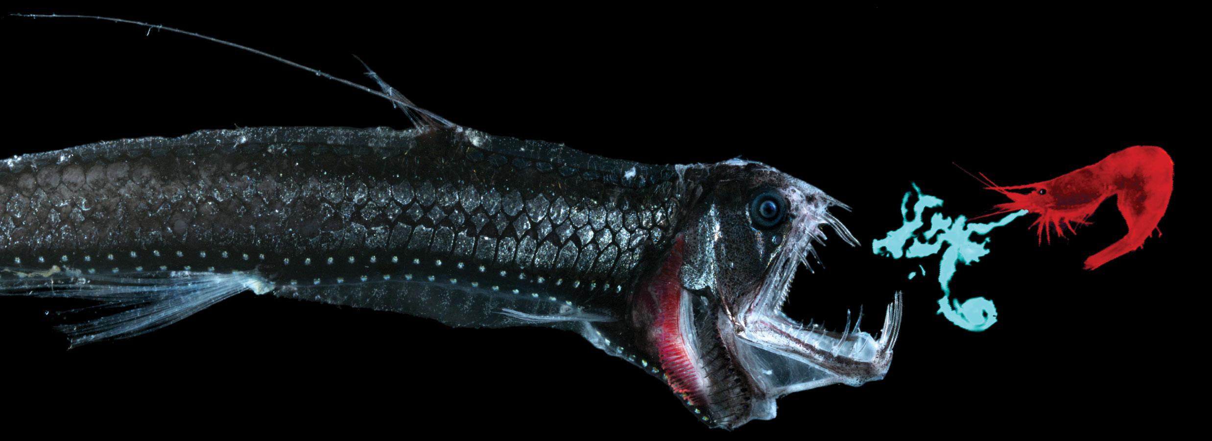 Viper fish animal news the podcast for Deep sea fish